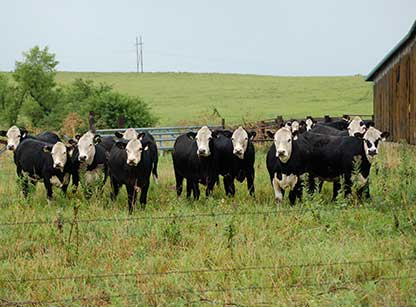 Black hereford cattle for sale in oklahoma