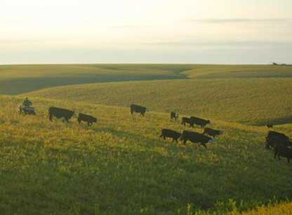 Gunbarrel Ranch Cattle